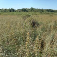 Vaste cladiaie au marais de Les Ageux
