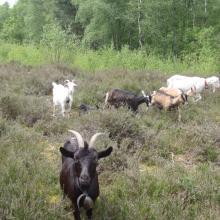 Pâturage par des chèvres dans la lande humide de Monceaux