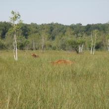 Vaches Highland Cattle dans un marais privé
