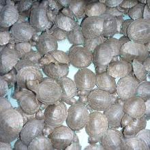 Nouveaux-nés de Erymnochelys madagascariensis