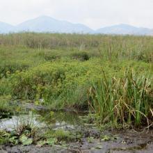Habitat à Cyperus dans le lac Sofia