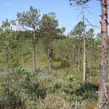 Pine forest on the peatland