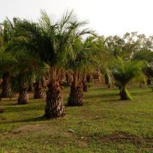 Plantation de palmier à huile dans campement de chasse de Tapoa-Djerma