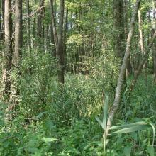 Forest in the floodplain of the Iput River