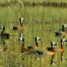 White - faced ducks in the floodplains of the southern Okavango