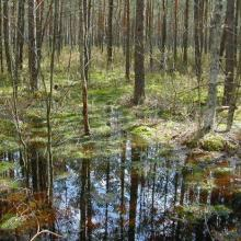 extensive forest swamp