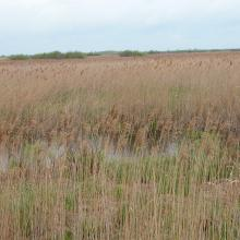 The considerable part of floodplain meadows are overgrown with reeds due to cessation of traditional use of the floodplain.