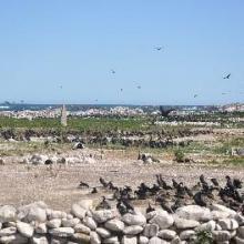 Cape cormorants and artificial penguin  nests(2)