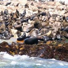 Cape fur seals on Geyser Island