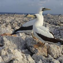 Pair of Masked Boobys Sula dactylatra chick on Sombrero Island - note the date the photo was taken is unknown, not as given