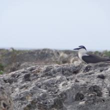 Bridled Tern Sterna anaethetus,  Sombrero Island - note the date the photo was taken is unknown, not as given