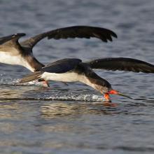 """""""Rayador"""", Rhynchops niger, alimentándosoe con su modo inconfunfible en aguas someras del estuario del Monkul en el sector la Balsa"""