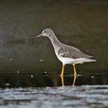 """""""Pitotoi Grande"""", Tringa melanoleuca"""", especie migratoria neártica y una de las aves más numerosas en los ambientes limosos y fangosos de las marismas del Area Monkul."""
