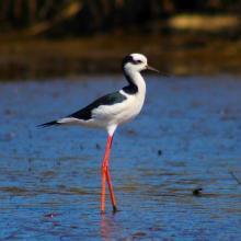 """""""Perrito"""", Himantopus mexicanus, habitante numeroso en los ambientes de marismas en el sector occidental del Área Monkul."""