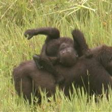 Gorilla gorilla gorilla (la mère et son petit)