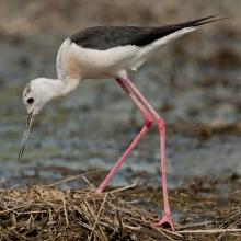 Sim Maiakiv - Black-winged stilt