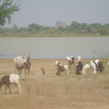 Photo 7 : Abreuvement du bétail dans le Lac
