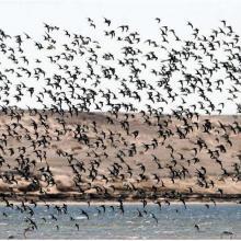 Les populations de limicole dans l'interface désert-océan