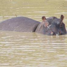 Photo 3 : Un Hippopotame