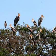 Greater Adjutant and Painted stork nest in Prek Toal Ramsar site