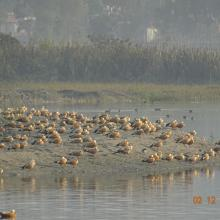 Ruddy shelduck at Asan