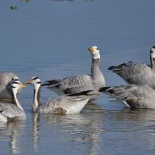 Bar headed Goose at Asan