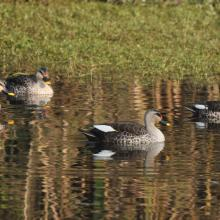 Indian Spot-billed Duck at Asan