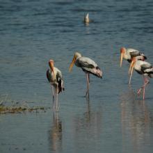 Painted Stork at Asan