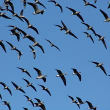 Migratory geese.