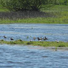 Migratory waders.