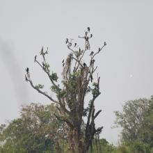 Oriental Darters (Anhinga melanogaster) roosting on the tree.