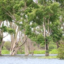 Flooding trees in Stung Sen Ramsar Site