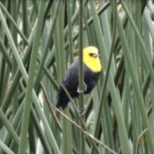 Monjita bogotana, Humedal del Burro