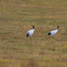 Black-necked Crane (Grus nigricollis)
