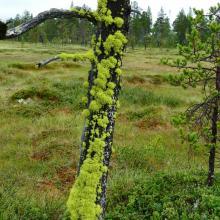 Dry pine With Wolf Lichen