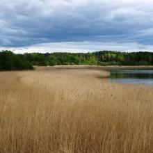 Reed forest in the bay Gansrødbukta.