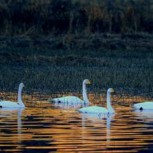 Whooper Swans in the Dokkadelta