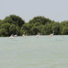 Flamingos with Mangroves in the background