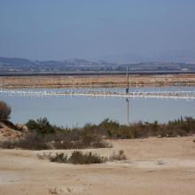Lagunas de La Mata y Torrevieja. Colonia de Audouinii en la laguna de Torrevieja