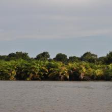 Papyrus sur le fleuve Nyanga, Mougagara