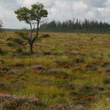 Raised bog with dwarf pine