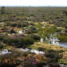Raised bog, hummocks and hollows