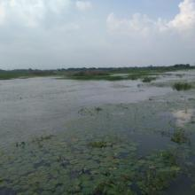 Aquatic vegetation at Sarsai Nawar bird Sanctuary