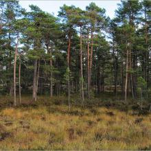 Pine forest on peatland at Getapulien-Grönbo