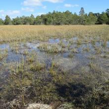 Marsh with Great Fen-Sedge.