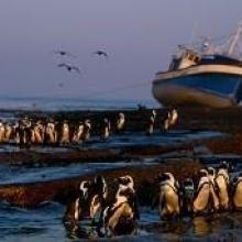 African Penguins with Shipwreck
