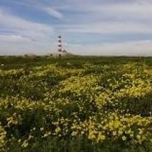 Yellow oxalis with Lighthouse