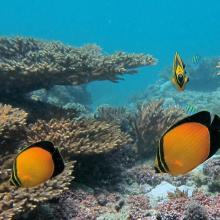 Arabian butterflyfish - Chaetodon melapterus