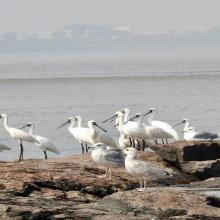 A group of black-faced spoonbill