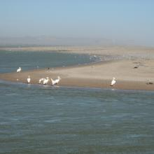 Great White Pelicans (Pelecanus onocrotalus) and large flocks of terns (Sterna sp.) at the Orange River Mouth.